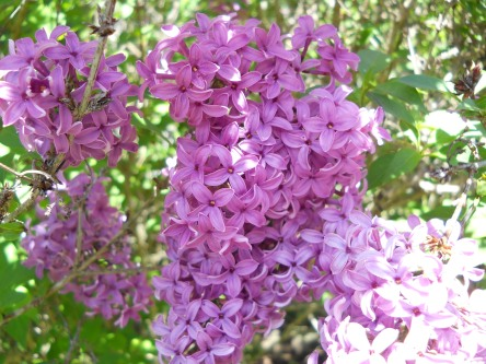 lilac 003