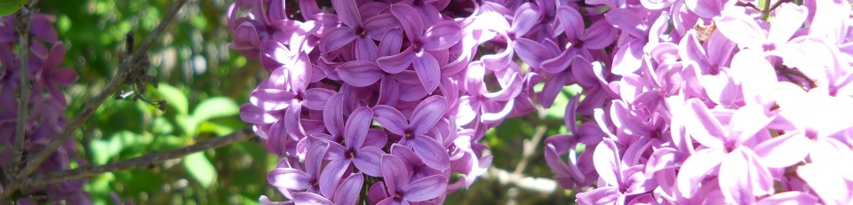 cropped-lilac-002.jpg